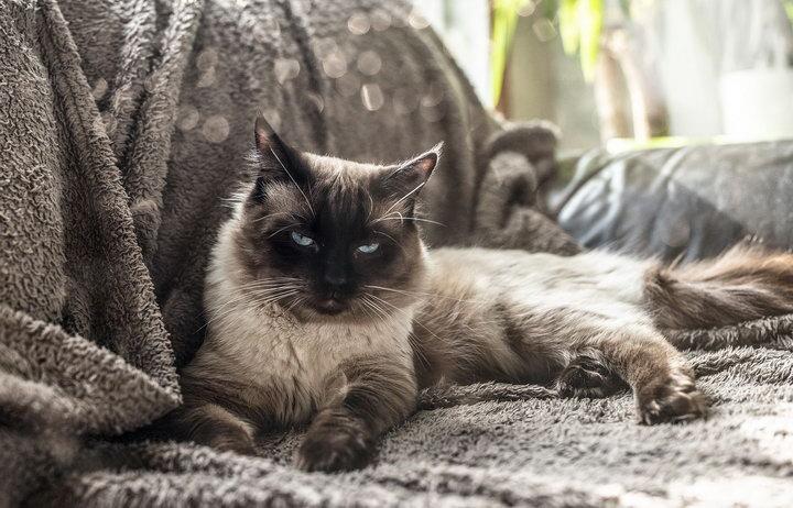 比利时一只猫咪被发现感染新冠病毒肺炎