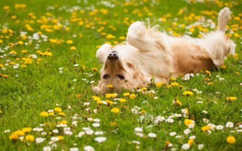 宠物狗狗春天面临的四种健康危害