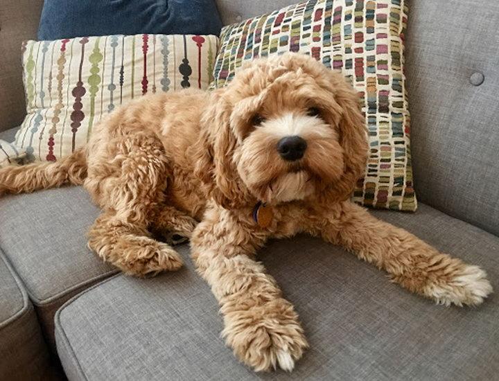 Cockapoo可卡布犬