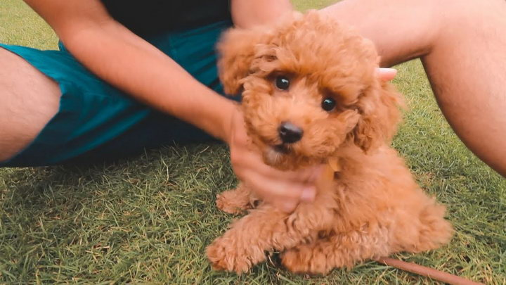 玩具贵宾犬
