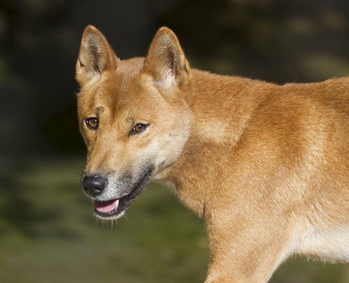新几内亚歌唱犬