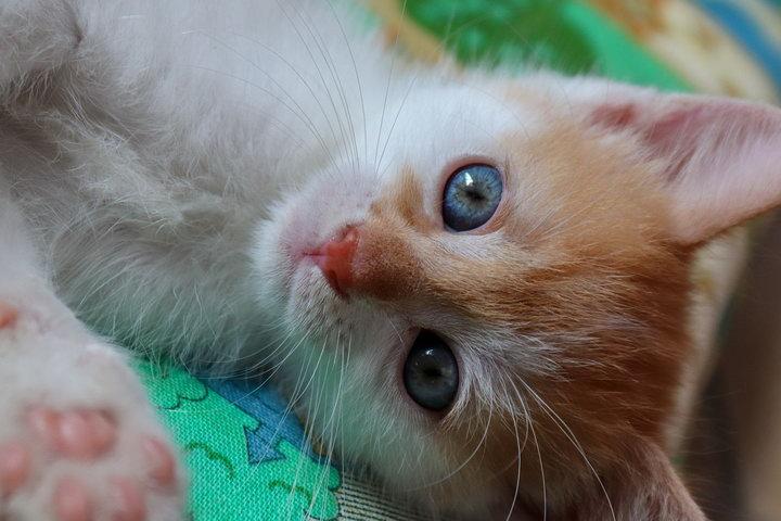 幼猫什么时候可以开始喂猫粮?