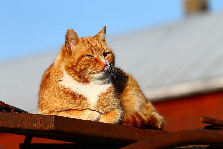 猫咪真的会传染新型冠状病毒吗?