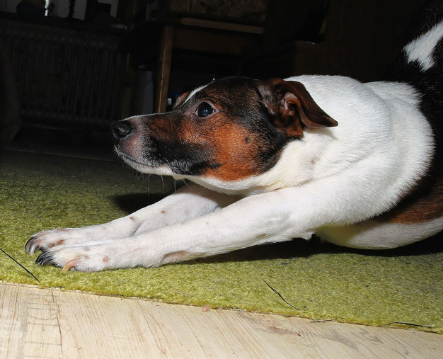为什么狗狗喜欢伸懒腰?