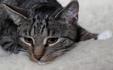 猫咪骨关节炎也会导致其行动迟缓,不一定是年纪大