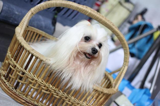 西施犬寿命有多少?