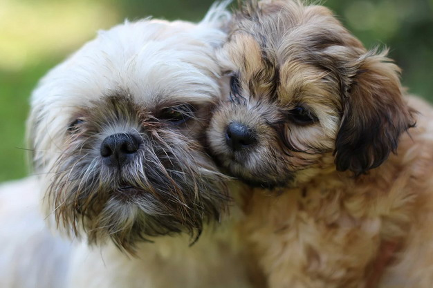 西施犬幼犬和成年犬死亡的主要原因分析
