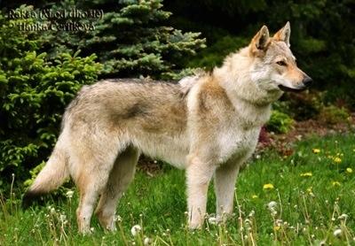 捷克狼犬怎么样?适合作为宠物么?