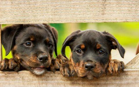 犬瘟热初期症状