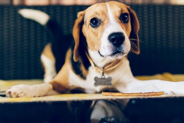 ▲垂耳的品种,如比格犬等,需要特别注意定时清理耳朵。