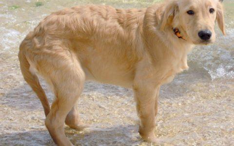 如何发现和治疗狗狗慢性关节炎?