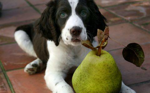 狗狗能吃梨子吗?