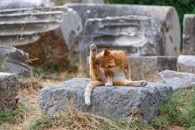 猫咪舔毛过度把自己舔秃了怎么办?