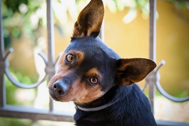 狗狗常见的四个耳道疾病问题:外耳炎、中耳炎、内耳炎和耳血肿