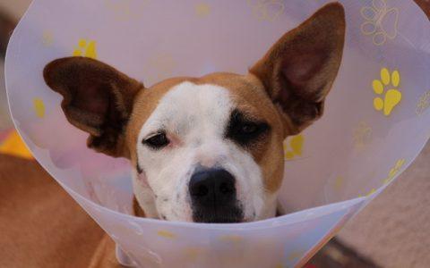 狗狗外耳炎和中耳炎发病的常见原因