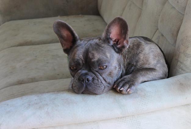 避免狗狗耳道疾病的居家护理3步骤