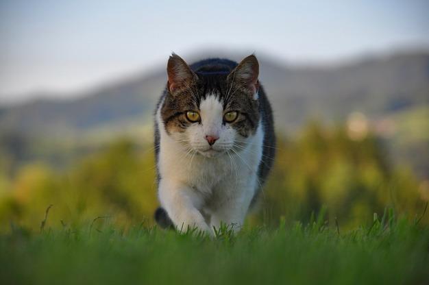 从细微之处发现猫咪关节炎的行为