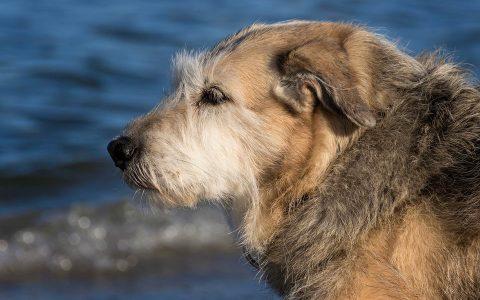 狗狗感染犬钩端螺旋体病的风险、症状和处理方法