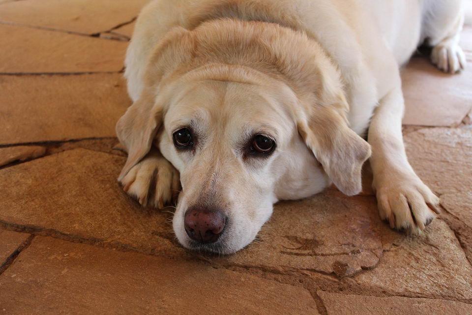 狗狗高胆固醇血症的症状、诊断、治疗和预防方法