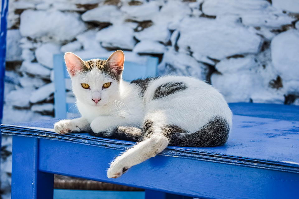 猫咪的慢性瓣膜性心脏病的症状、诊断、治疗和预防措施