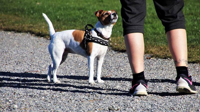 狗狗不喜欢穿胸背带,2个小技巧让它乖乖穿上