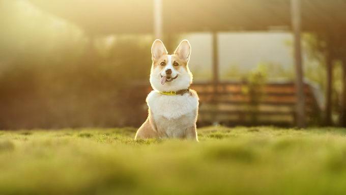 狗狗尿液味道加重、颜色变深要小心,可能是泌尿道疾病预兆