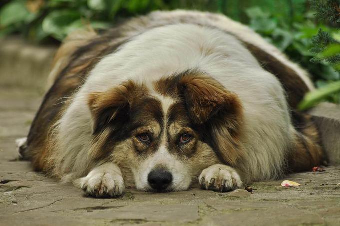 炎热夏天高温天气里肥胖的狗狗应该如何安全度过?