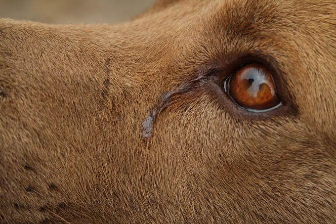 狗狗泪痕的清洁和处理方法
