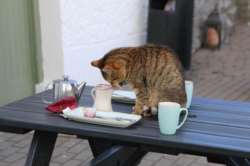 猫咪总是跳上桌子该如何纠正?